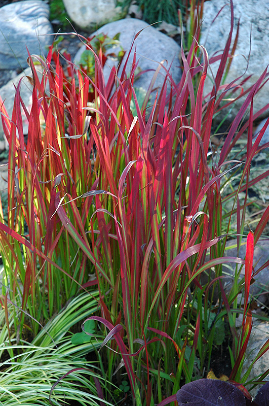 red baron japanese blood grass imperata cylindrica 39 red baron 39 in detroit ann arbor dearborn. Black Bedroom Furniture Sets. Home Design Ideas