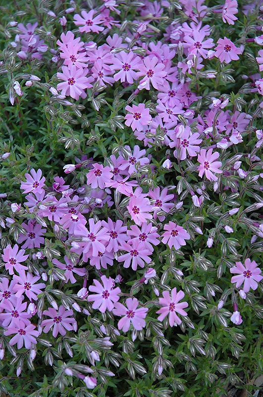 fort hill moss phlox phlox subulata 39 fort hill 39 in detroit ann arbor dearborn royal oak. Black Bedroom Furniture Sets. Home Design Ideas