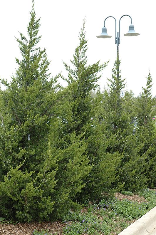 Fairview Juniper Juniperus Chinensis Fairview In