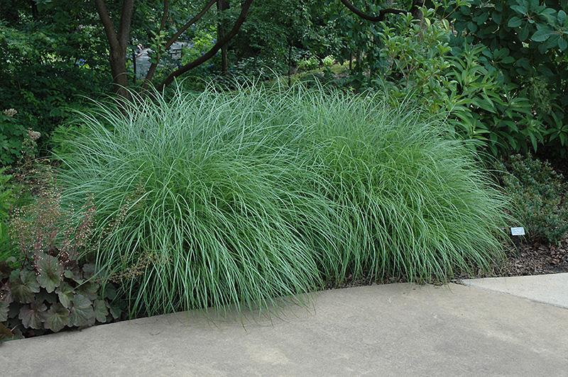 Little kitten dwarf maiden grass miscanthus sinensis for Dwarf decorative grasses
