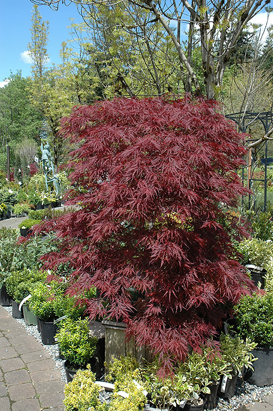 japanese maple scorched leaves how to help