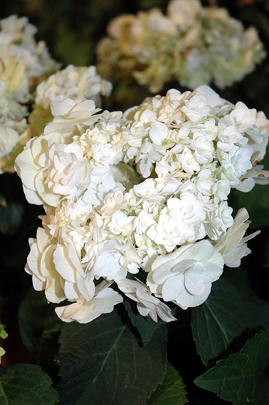 Wedding Gown Hydrangea Hydrangea Macrophylla Wedding