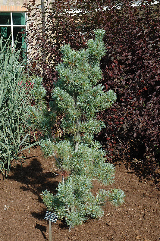 Blue Angel Japanese White Pine Pinus Parviflora Blue
