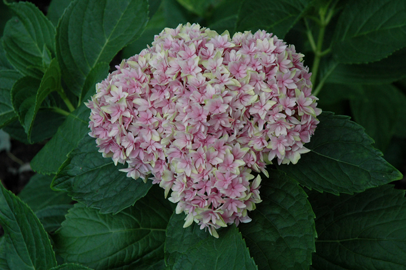 Freedom hydrangea hydrangea macrophylla 39 freedom 39 in detroit ann arbor dearborn royal oak - Flowers that mean freedom ...
