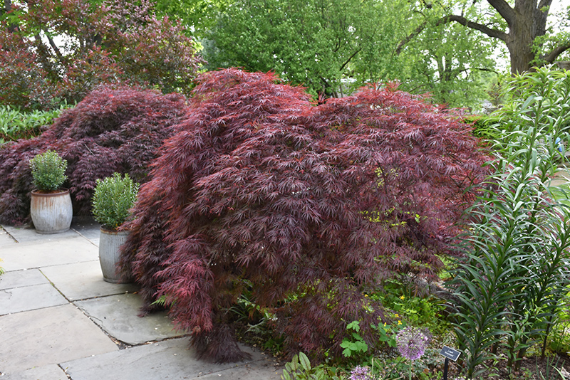 Crimson Queen Japanese Maple Acer Palmatum Crimson Queen