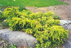 Gold Coast Juniper (Juniperus x media 'Gold Coast') at English Gardens