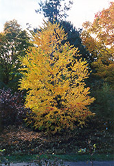 Katsura Tree (Cercidiphyllum japonicum) at English Gardens