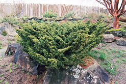 Shimpaku Juniper (Juniperus chinensis 'Shimpaku') at English Gardens