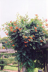 Trumpetvine (Campsis radicans) at English Gardens