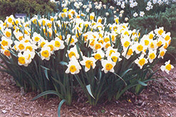 Sound Daffodil (Narcissus 'Sound') at English Gardens