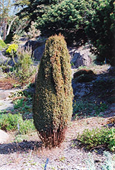 Compressa Juniper (Juniperus communis 'Compressa') at English Gardens