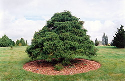 Threadleaf Falsecypress (Chamaecyparis pisifera 'Filifera') at English Gardens