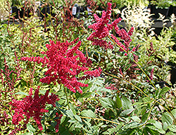 Glow Astilbe (Astilbe x arendsii 'Glow') at English Gardens