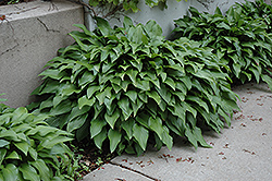 Invincible Hosta (Hosta 'Invincible') at English Gardens