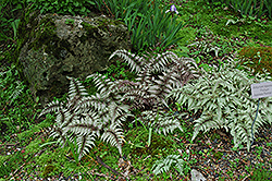 Japanese Painted Fern (Athyrium nipponicum 'Pictum') at English Gardens