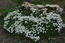 Candytuft (Iberis sempervirens) at English Gardens