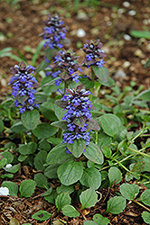 Caitlin's Giant Bugleweed (Ajuga reptans 'Caitlin's Giant') at English Gardens