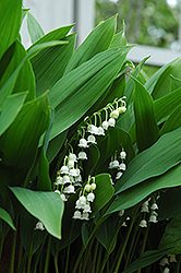 Lily-Of-The-Valley (Convallaria majalis) at English Gardens