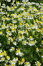 Chamomile (Matricaria recutita) at English Gardens