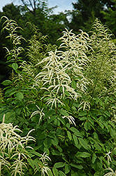 Goatsbeard (Aruncus dioicus) at English Gardens