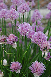 Chives (Allium schoenoprasum) at English Gardens
