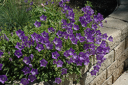 Blue Clips Bellflower (Campanula carpatica 'Blue Clips') at English Gardens