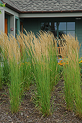 Karl Foerster Reed Grass (Calamagrostis x acutiflora 'Karl Foerster') at English Gardens