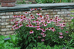 Magnus Coneflower (Echinacea purpurea 'Magnus') at English Gardens