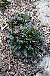 Chocolate Chip Bugleweed (Ajuga reptans 'Chocolate Chip') at English Gardens