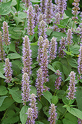Blue Fortune Anise Hyssop (Agastache 'Blue Fortune') at English Gardens