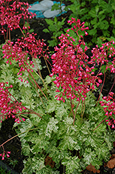 Snow Angel Coral Bells (Heuchera sanguinea 'Snow Angel') at English Gardens
