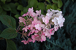 Pink Diamond Hydrangea (Hydrangea paniculata 'Pink Diamond') at English Gardens