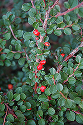 Hesse Cotoneaster (Cotoneaster 'Hessei') at English Gardens