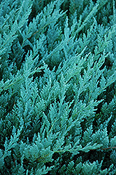 Blue Chip Juniper (Juniperus horizontalis 'Blue Chip') at English Gardens