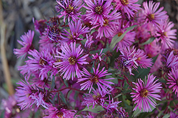 Woods Pink Aster (Aster 'Woods Pink') at English Gardens