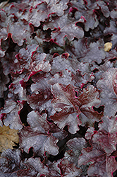 Licorice Coral Bells (Heuchera 'Licorice') at English Gardens