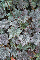 Frosted Violet Coral Bells (Heuchera 'Frosted Violet') at English Gardens