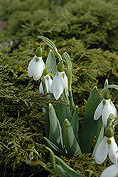 Common Snowdrop (Galanthus nivalis) at English Gardens