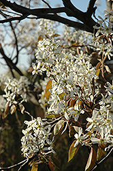 Cumulus Serviceberry (Amelanchier laevis 'Cumulus') at English Gardens
