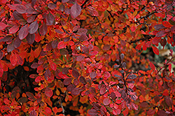 Rose Glow Japanese Barberry (Berberis thunbergii 'Rose Glow') at English Gardens