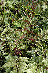 Japanese Painted Fern (Athyrium nipponicum 'Metallicum') at English Gardens