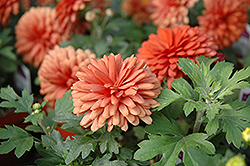 Jennifer Chrysanthemum (Chrysanthemum 'Jennifer') at English Gardens