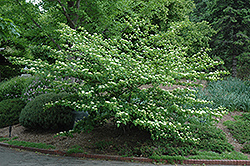 Pagoda Dogwood (Cornus alternifolia) at English Gardens