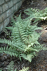 Ghost Fern (Athyrium 'Ghost') at English Gardens