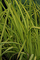 Bowles Golden Sedge (Carex elata 'Aurea') at English Gardens