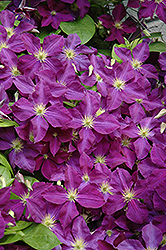 Jackmanii Superba Clematis (Clematis x jackmanii 'Superba') at English Gardens