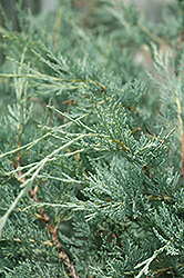 Moonglow Juniper (Juniperus scopulorum 'Moonglow') at English Gardens