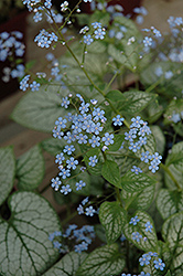 Jack Frost Bugloss (Brunnera macrophylla 'Jack Frost') at English Gardens