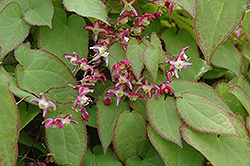 Bishop's Hat (Epimedium x rubrum) at English Gardens