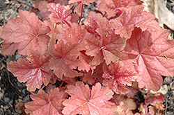 Dolce® Peach Melba Bells (Heuchera 'Peach Melba') at English Gardens